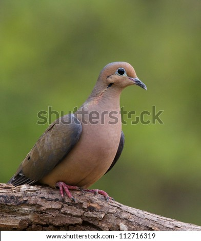 Morning Dove perched on branch with lovely natural green background - stock photo