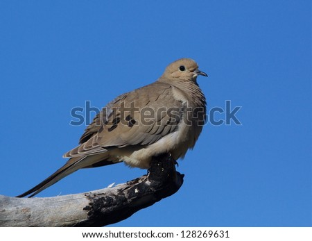 Morning dove perched on branch with natural blue sky background, near Cleveland, Ohio birds and wildlife nature photography migratory bird - stock photo