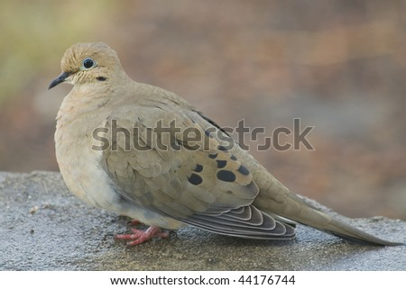 Morning Dove visiting looking for some food - stock photo