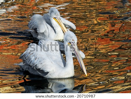Morning early, dalmatian pelicans pair in a spawning dress float on lake - stock photo