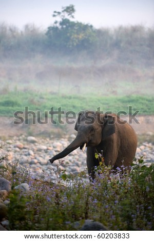 Morning elephant. / Early in the morning in a fog the elephant comes back from a watering place. - stock photo