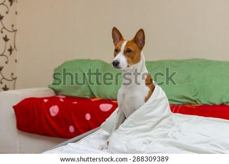 Morning episode in bedroom of cute basenji dog - stock photo
