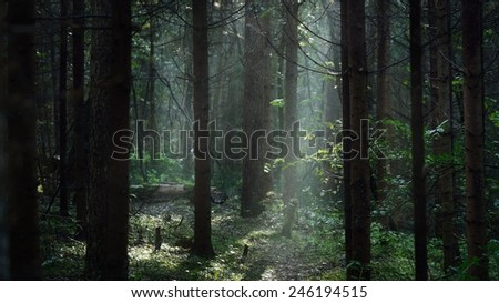 Morning fog in a dark and mystical forest in Latvia - stock photo