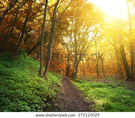 Morning forest and bright sunset and floor are green and trees are orange - stock photo