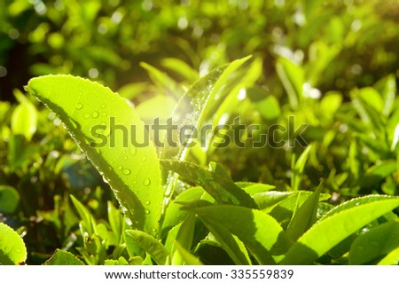 Morning Fresh Tea Growing Plantation Nature Concept