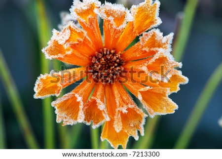 Morning frost on a flower in late fall. Focus on petals with ice crystals. - stock photo