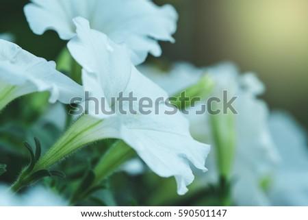 Morning glory flower white color stock photo royalty free morning glory flower with white color mightylinksfo