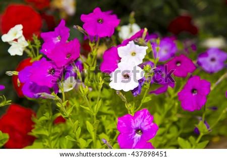 morning glory flowers,purple flowers,glory flowers,flowers in the sun,purple flowers,wonderful glory flowers,violet flowers,white and purple glory flowers,amazing nature,natural flowers,garden flowers - stock photo