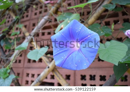 Morning glory hold on the stick wood,Morning glory and red wall brick