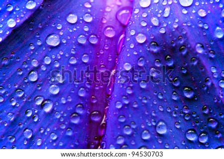 Morning glory, (Ipomoea purpurea), petals and water drops background - stock photo