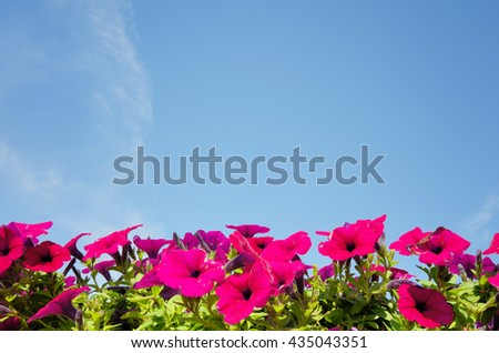 Morning glory under blue sky