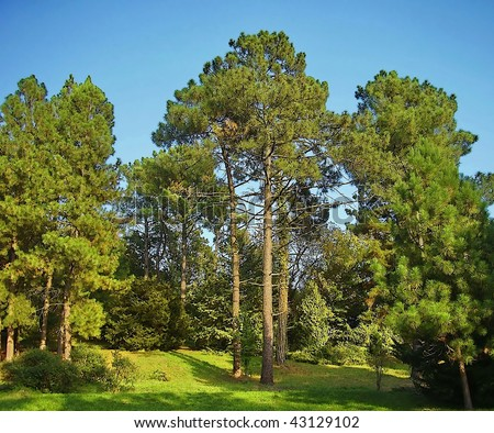 Morning in a pine forest - stock photo