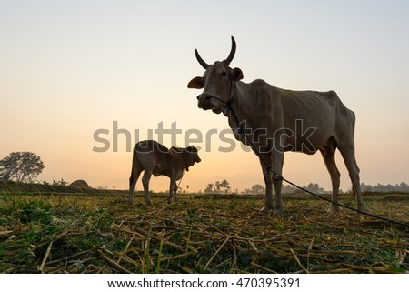 morning in the country with cows, thailand