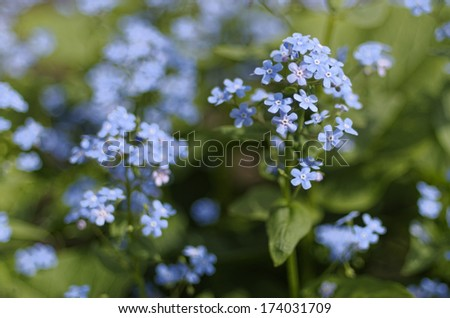morning in the forest  forget-me-not - stock photo