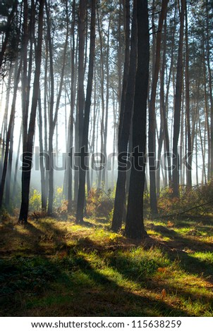 morning in the forest landscape. sunlight shining through the trees
