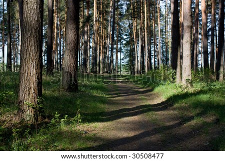 morning in the pine wood - stock photo