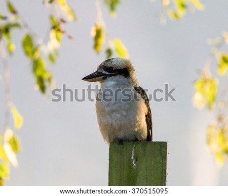 Morning Kookaburra - stock photo