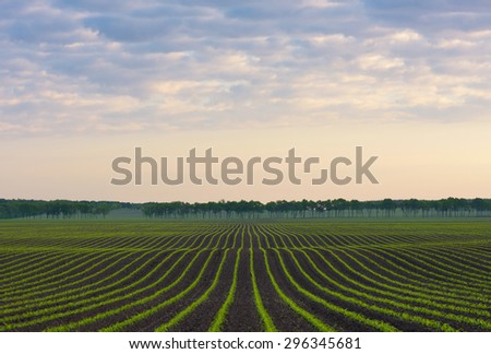Morning landscape. Cornfield. Natural line - stock photo