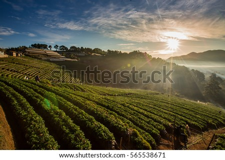 Morning Landscape of Strawberry garden with sunrise at Doi Ang Khang , Chiang Mai, Thailand