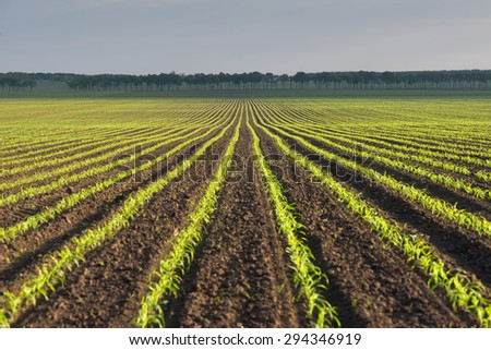 Morning landscape with a field of young corn - stock photo