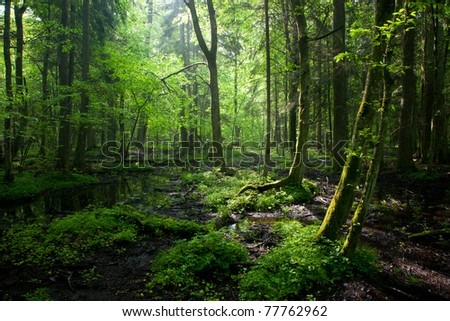 Morning light entering wet stand of Bialowieza Forest