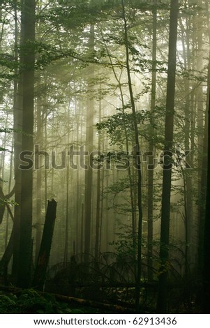 Morning light in the dense forest canopy