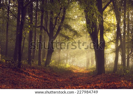 Morning light through the trees in a foggy autumn day