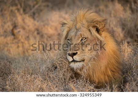 Morning lion, Balule Reserve, South Africa - stock photo