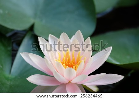 Morning lotus