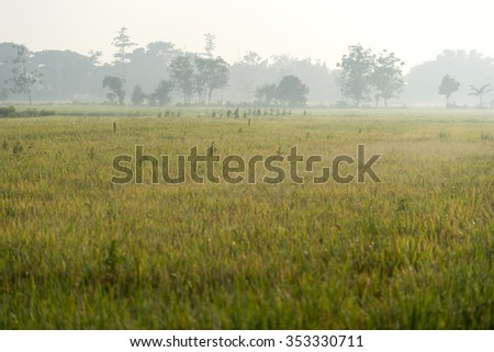 Morning mist over the rice fields in Indonesia