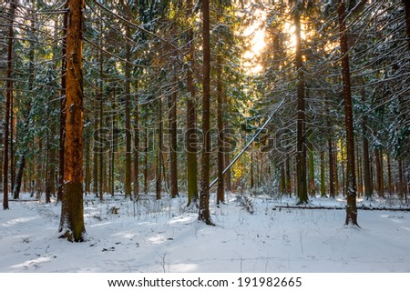 Morning shot of frosty spruce forest - stock photo