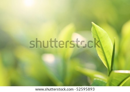 morning shot of tea leaf with ray of lights background - stock photo