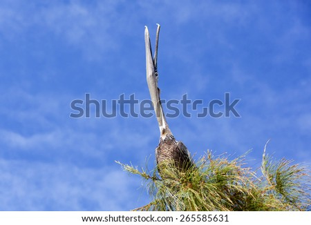 Morning stretch by the pelican while sitting on a top of a tree (Little Stirrup Cay, The Bahamas). - stock photo