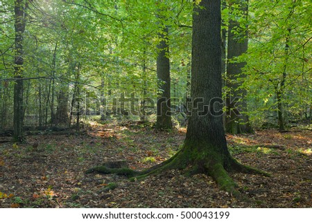 Morning sun entering deciduous stand with dry leaves lying in bottom,Bialowieza Forest,Poland,Europe