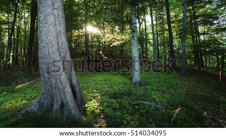 Morning sun in a dark beech forest