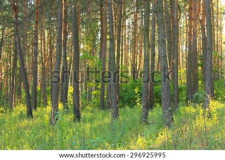 Morning sun light in green pine forest.  - stock photo