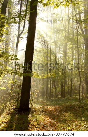 Morning sun shines between the golden leaves and falls into the autumnal forest. - stock photo