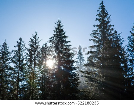 morning sun shining through the pine trees