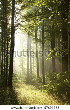 Morning sunlight backlit branches of trees in the misty forest. - stock photo