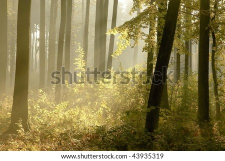 Morning sunlight falls into the autumn woods with oak trees surrounded by mist. - stock photo