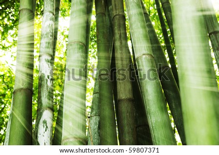 Morning sunlight shining on bamboo forest - stock photo