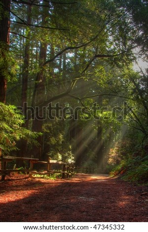 Morning sunrays in Redwood park - stock photo