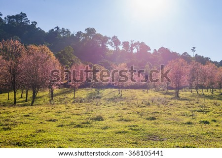Morning sunrise branch with pink sakura blossoms in Phu Lom Lo,Loei, Thailand