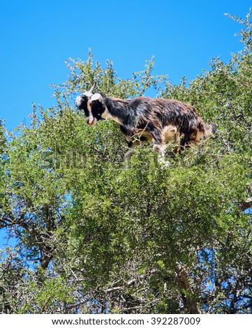 Moroccan goats on argan tree - stock photo