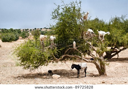 Morocco, Essaouira: goats on Argan tree eating fruits. - stock photo