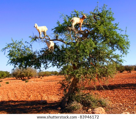 Morocco Goats feeding in argan tree - stock photo