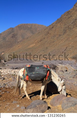 Morocco, Marrakesh, High Atlas Mountains, Toubkal National Park A white mule with typical harness and baskets in the river valley near Ansi. - stock photo