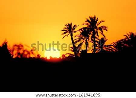 Morocco, Marrakesh, Palmeraie, sunset over the palm grove - silhouette of palm trees  - stock photo