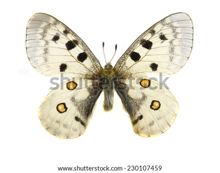 morpho butterfly isolated - stock photo