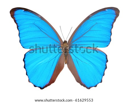 Morpho  butterfly (Morpho didius), a blue butterfly from South America on white background. - stock photo